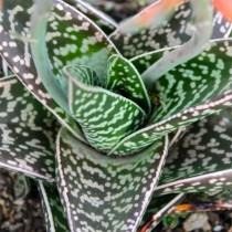 Алоэ пёстрое (Aloe variegata)