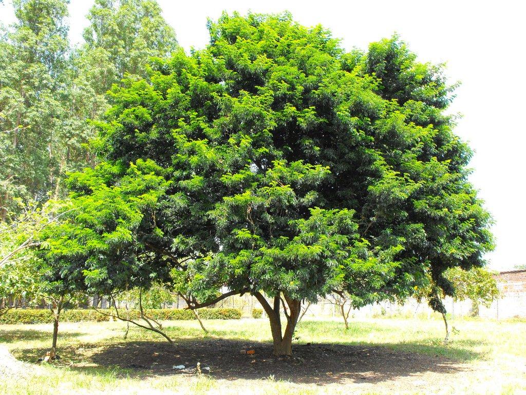Caesalpinia-echinata