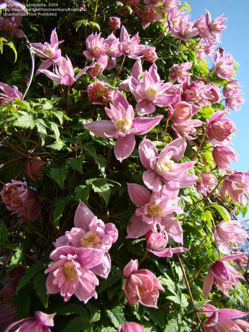 Clematis-Markhams-Pink-2