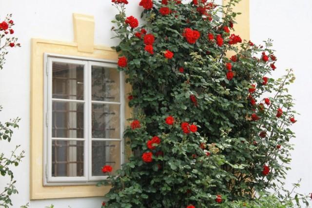 Плетистая роза у окна дома