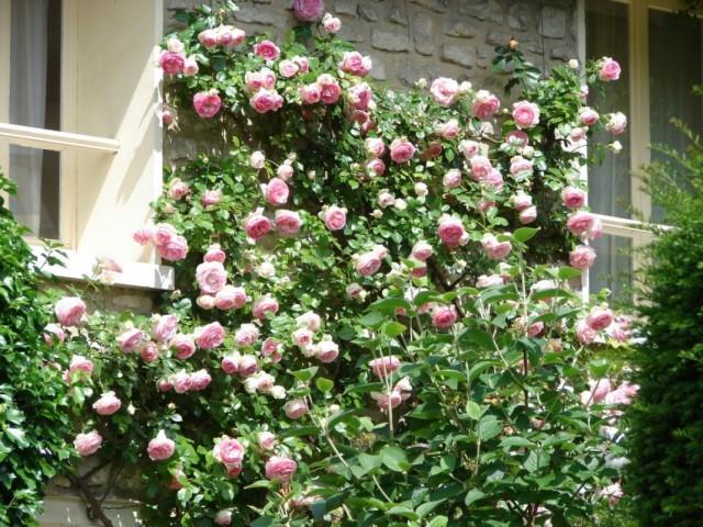 Плетистая роза на фасаде дома