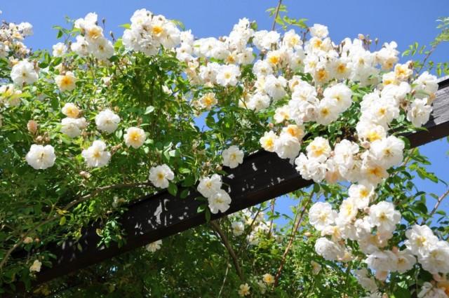 Плетистая роза на шпалере