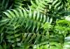 Циртомиум серповидный (Cyrtomium falcatum) или Фанерофлебия серповидная