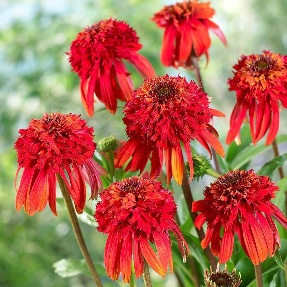 Echinacea-purpurea-Hot-Papaya-1