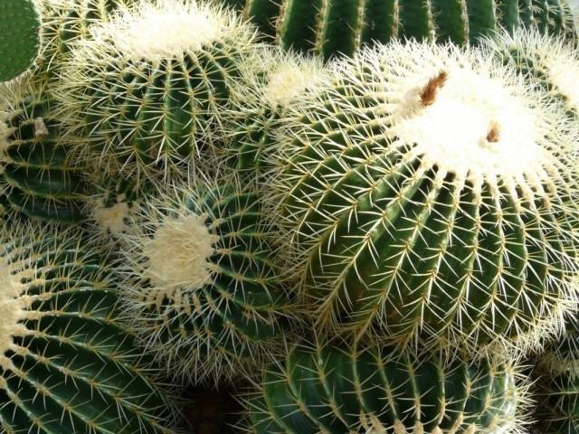 Эхинокактус, или Ежовый кактус (Echinocactus)