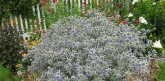 Синеголовник, или Эрингиум (Eryngium)