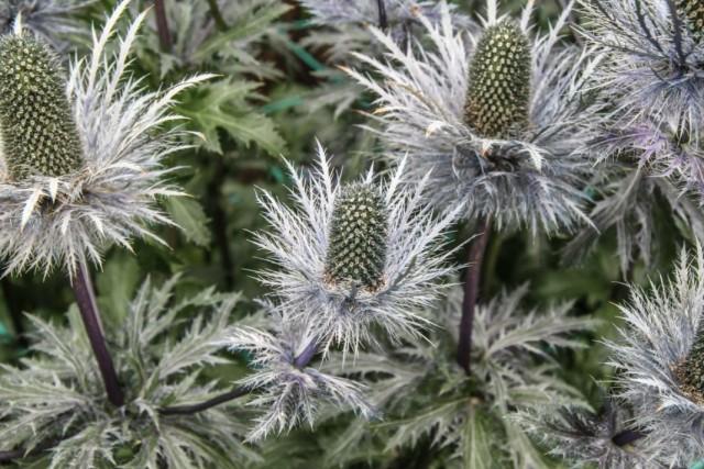 Синеголовник гигантский (Eryngium giganteum)