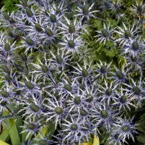 Синеголовник приморский (Eryngium maritimum)