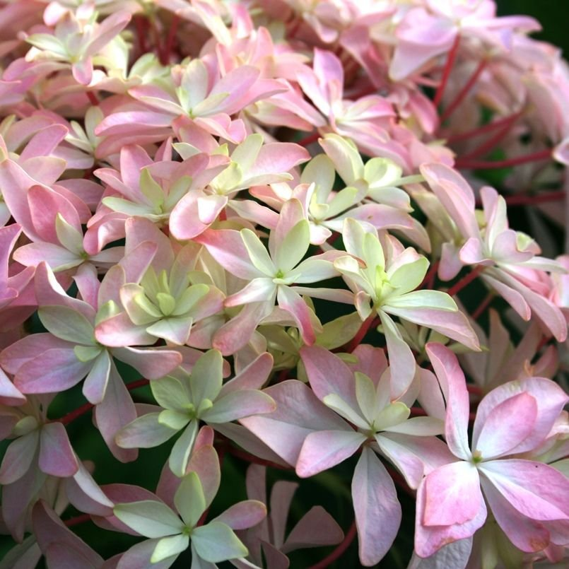 Hydrangea-macrophylla-Inspire-1
