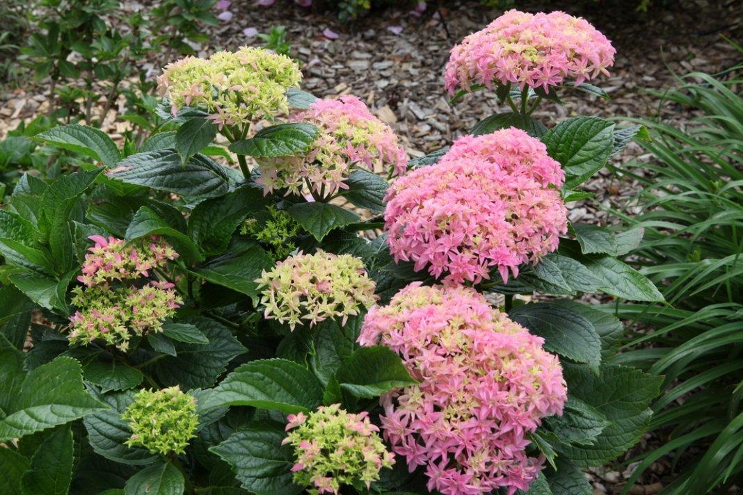 Hydrangea-macrophylla-Inspire-2