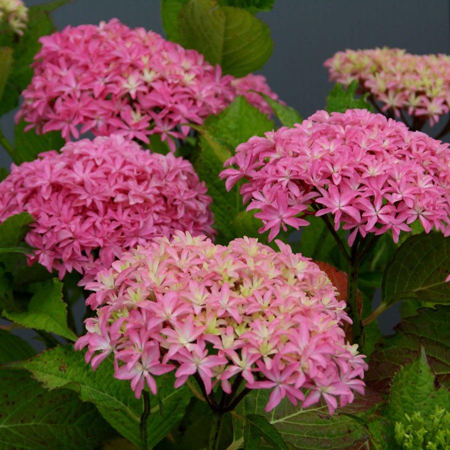 Hydrangea-macrophylla-Inspire-3