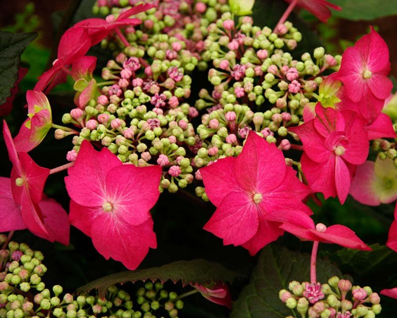 Hydrangea-macrophylla-Strawberries-Cream-1