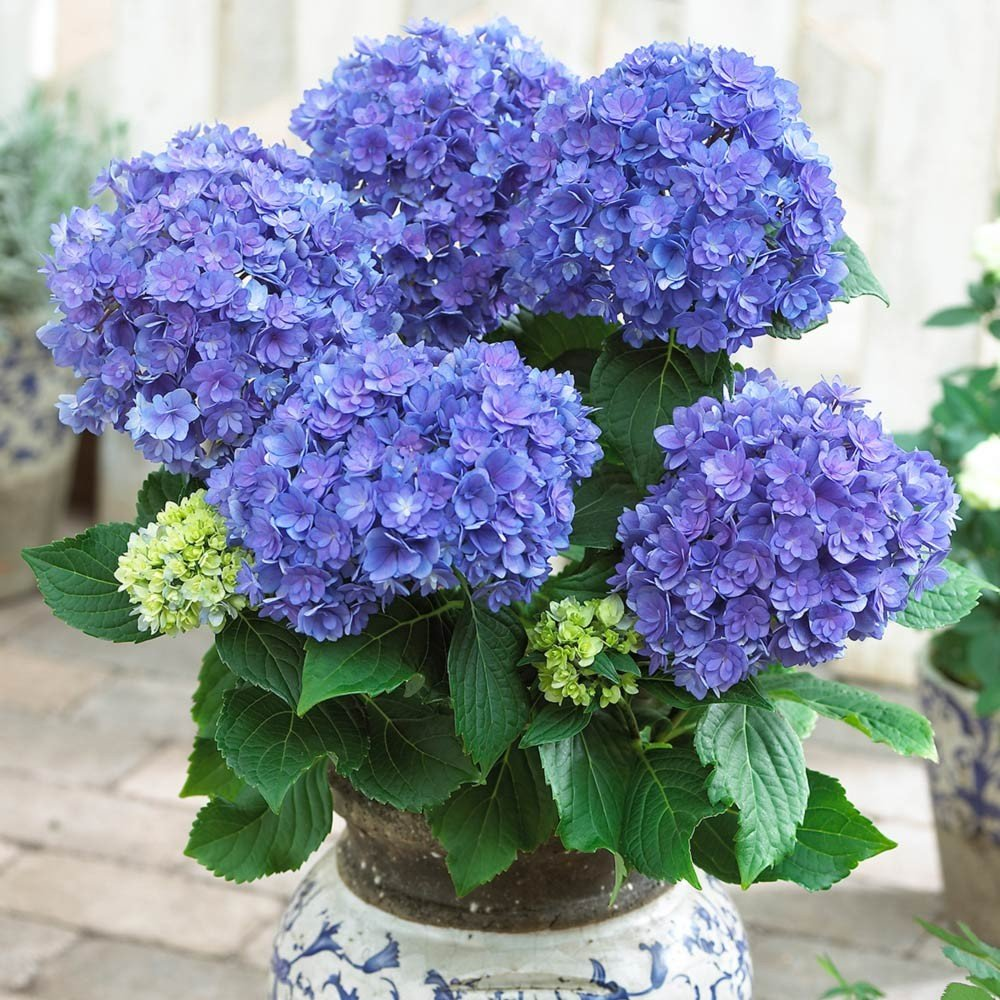 Hydrangea-macrophylla-You-Me-Series-3