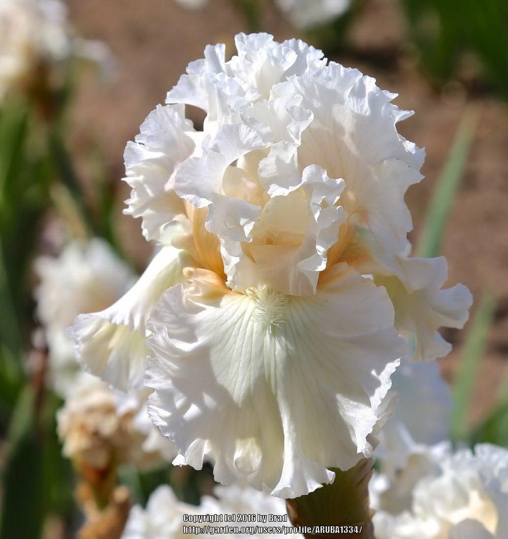 Iris-Gentle-Soul-1