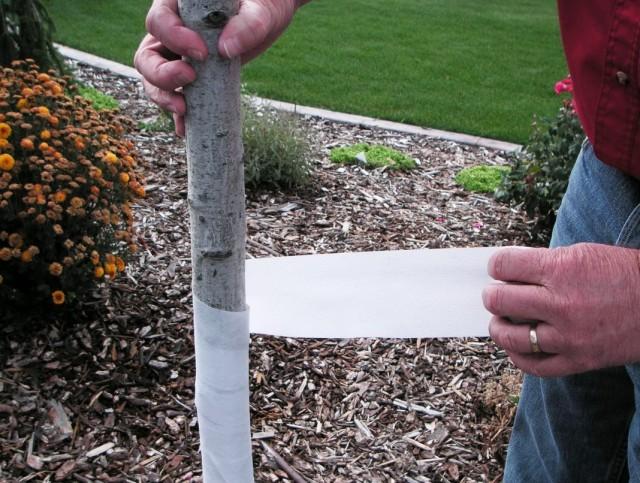 Обвязка ствола молодого дереве специальной лентой для защиты от солнечных ожогов, а также грызунов и зайцев