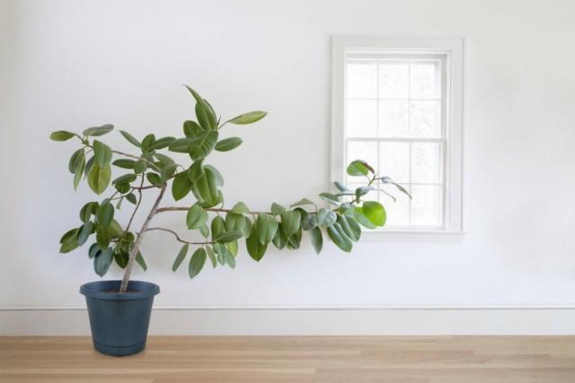 Почему вытягиваются комнатные растения?