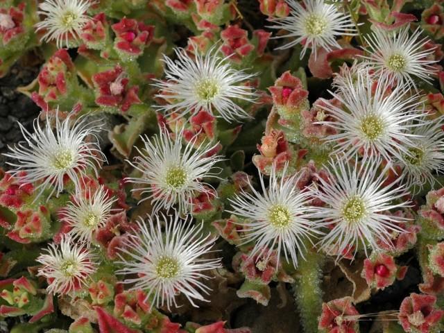 Мезембриантемум хрустальный, или ледяная трава, или хрустальная трава, или ледяник, или полуденник (Mesembryanthemum crystallinum)