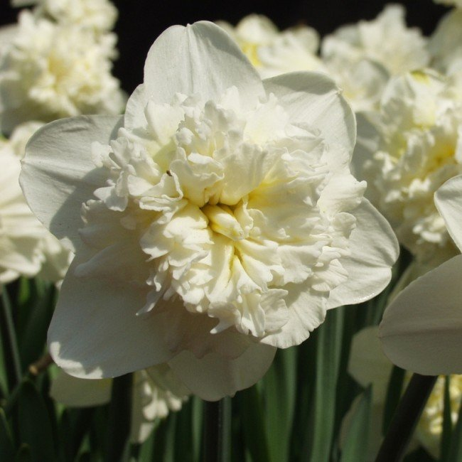 Narcissus-Ice-King-1