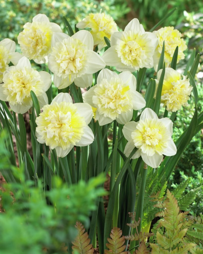 Narcissus-Ice-King-3