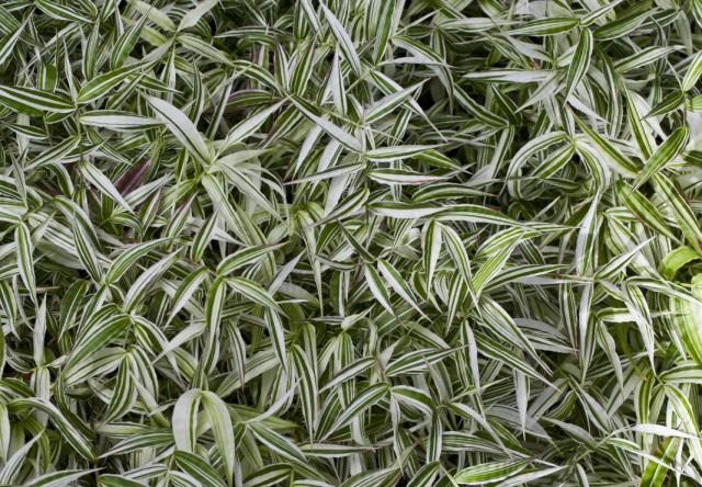 Остянка коротковолосистая, или оплисменус коротковолосый (Oplismenus hirtellus)