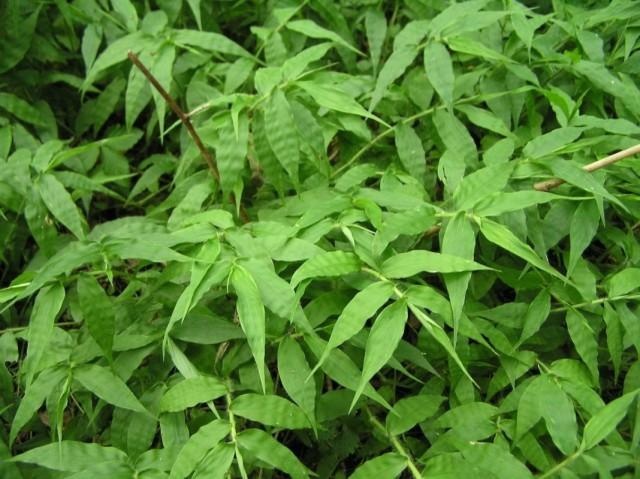 Остянка, или оплисменус коротковолосый с простыми листьями