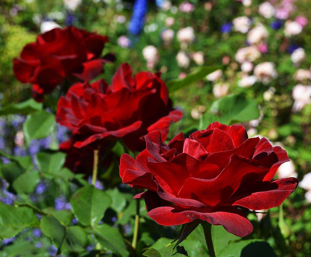 Rosa-Dame-de-Coeur-1