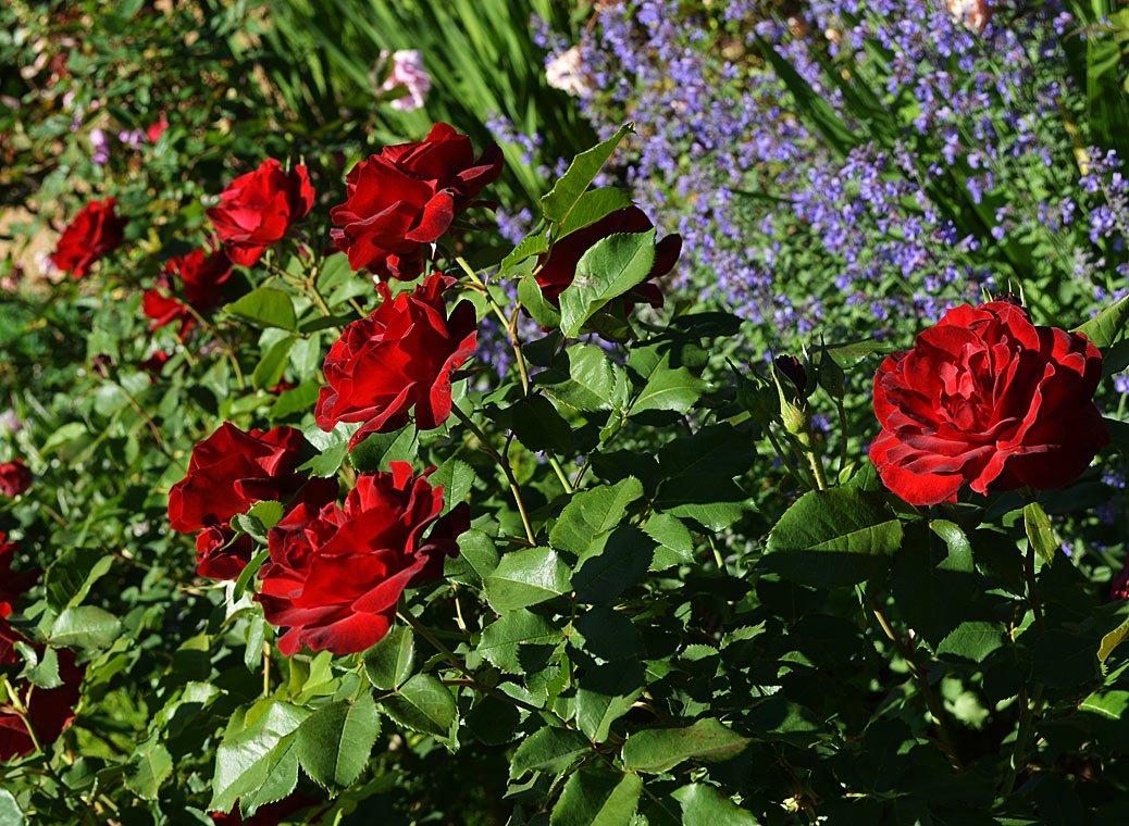 Rosa-Dame-de-Coeur-3