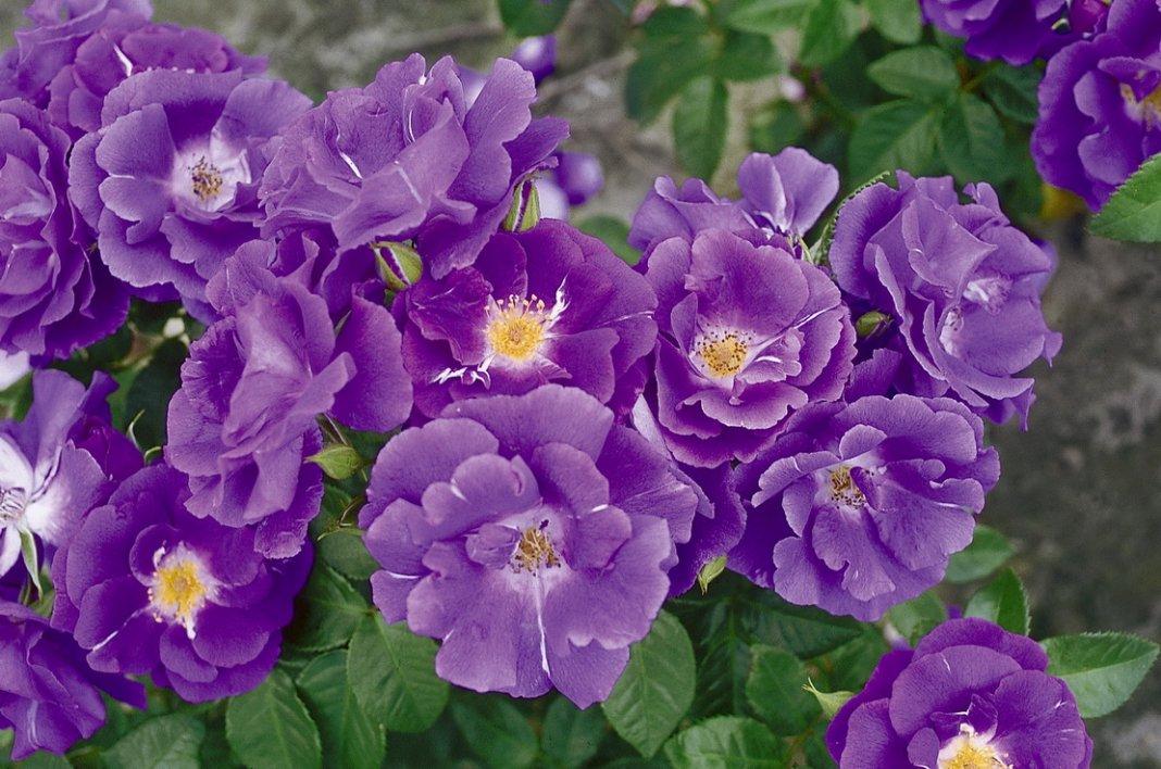 Rosa-Rhapsody-in-Blue-1