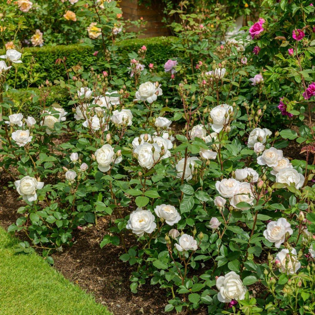 Rose-Desdemona-2