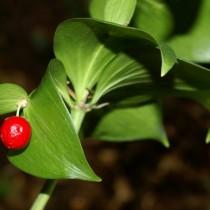 Иглица подъязычная (Ruscus hypoglossum)