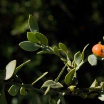 Иглица подлистная (Ruscus hypophyllum)