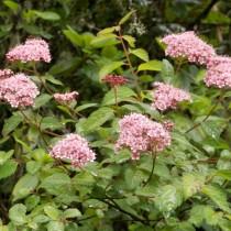 Спирея прелестная (Spiraea bella)