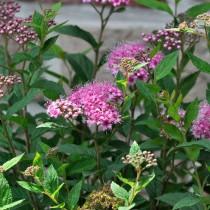 Спирея японская (Spiraea japonica)