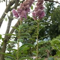 Спирея иволистная (Spiraea salicifolia)
