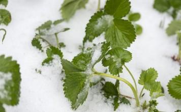 Клубника под снегом без укрытия