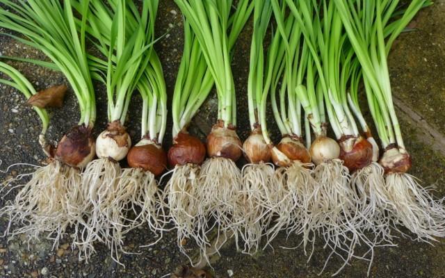 Здоровые луковицы нарциссов с хорошо развитой корневой системой