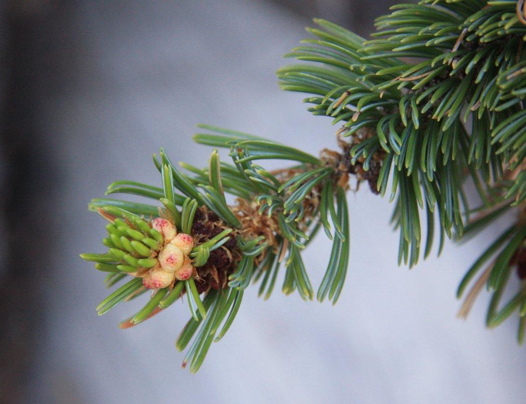 pinus-longaeva
