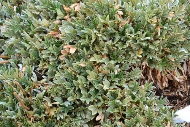 Ацена сверкающая (Acaena splendens)
