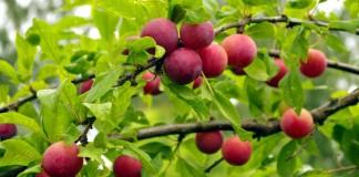 Алыча, или Слива растопыренная, или Слива вишненосная (Prunus cerasifera)