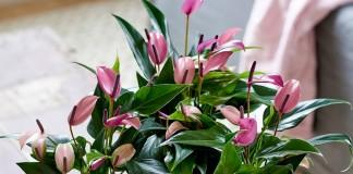 Антириумы (Anthurium)
