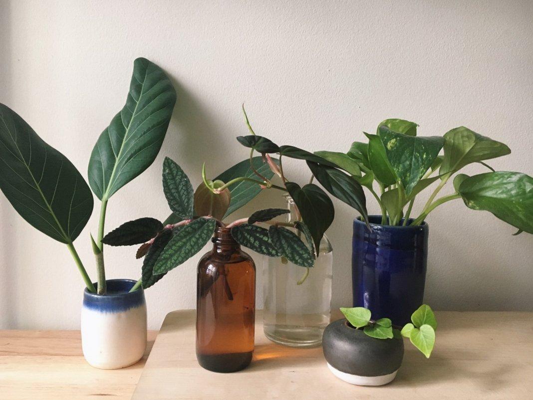 растений фото комнатных размножение