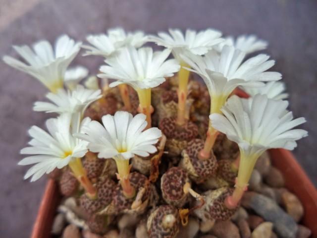 Конофитум (Conophytum pellucidum)
