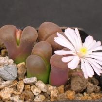 Конофитум Фридриха (Conophytum friedrichiae)
