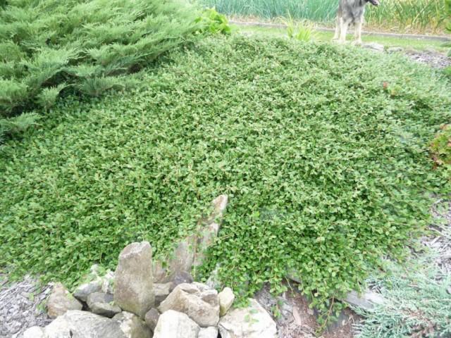 Кизильник Даммера (Cotoneaster dammeri)