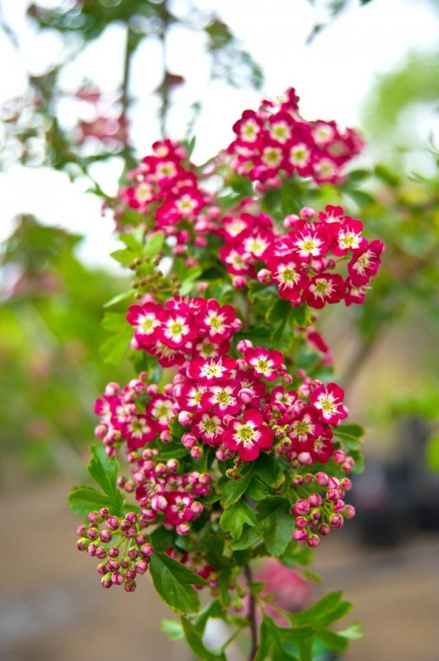 """Цветки боярышника обыкновенного сорта """"Кримсон Клоуд"""" (Crataegus laevigata 'Crimson Cloud')"""