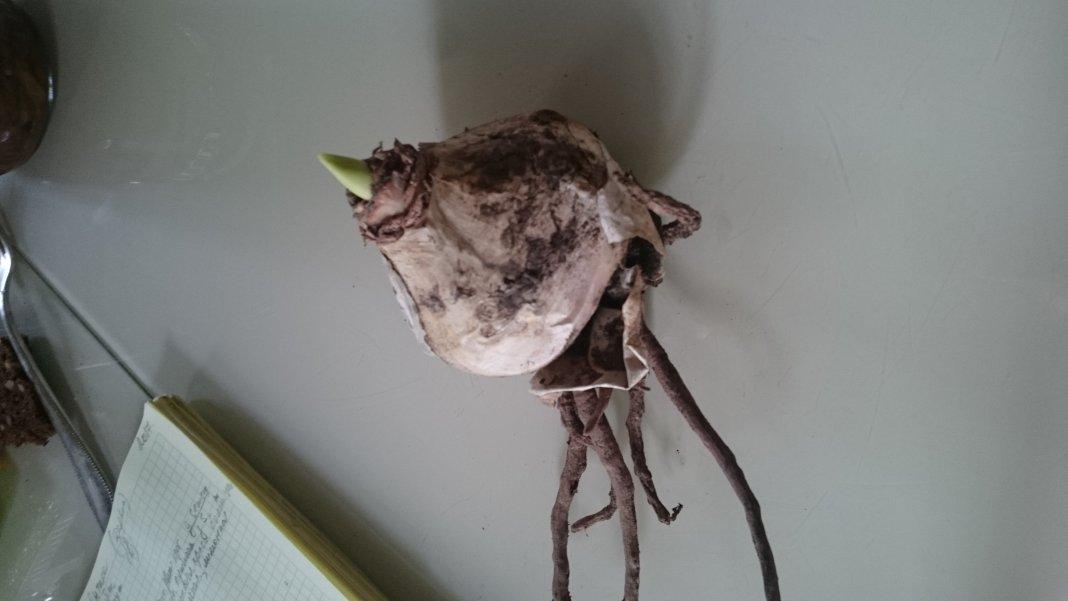 Это луковица,, эримуруса,,?