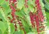 Деергиния амарантоидная (Deeringia amaranthoides) или Деергиния ягодоносная (Deeringia baccata)