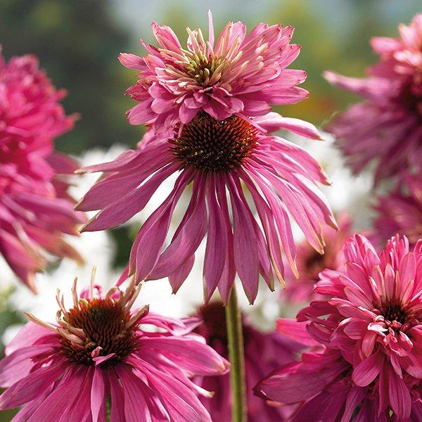 Echinacea-purpurea-Double-Decker-1