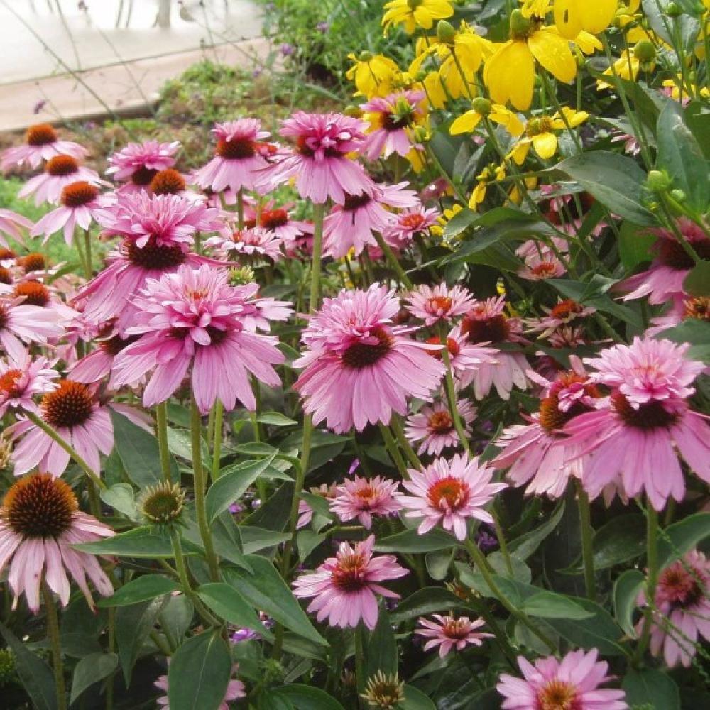 Echinacea-purpurea-Double-Decker-3