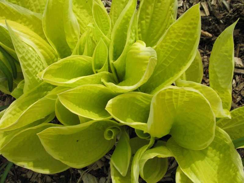 Hosta-Saint-Elmos-Fire-1